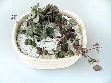 Правильная пересадка растения, методы размножения