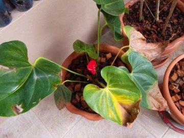 Желтеют листья – причина: болезни и вредители