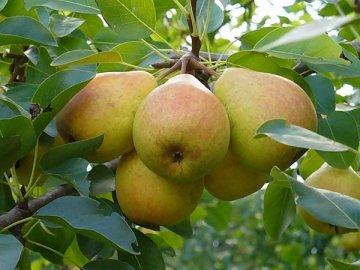 Советы садоводу: как правильно ухаживать за грушей