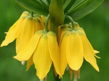 Описание и особенности цветка