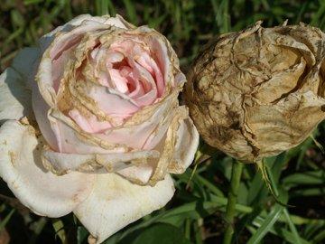 Болезни цветка: борьба и профилактика