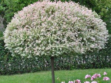 Выращивание декоративных деревьев