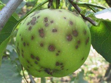 Болезни и вредители яблоневого сада, как их избежать