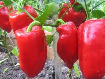Перец подарок молдовы выращивание