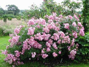 Применение мускусной розы