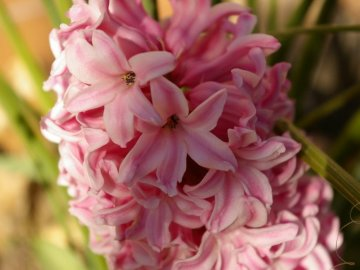 Профилактика болезней, борьба с вредителями первоцвета