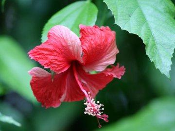 Красивый и полезный гибискус садовый