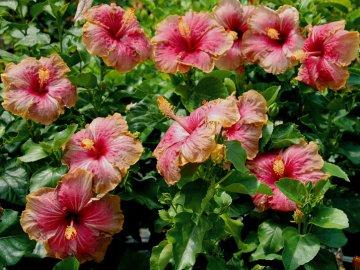 Садовый гибискус как декоративное украшение сада