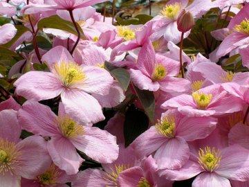 Клематис: описание растения