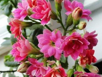 Растения короткого дня