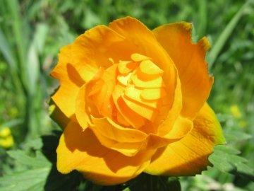 Цветок жарок