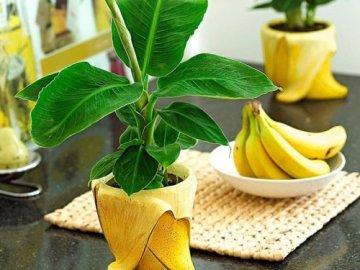 Банан комнатный