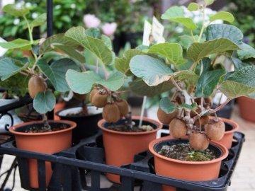 Особенности выращивания киви