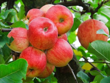 Описание сорта яблони Уэлси