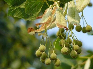 Выращивание липы семенами