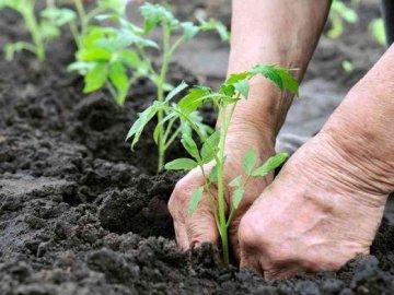 Как сажать рассаду помидор