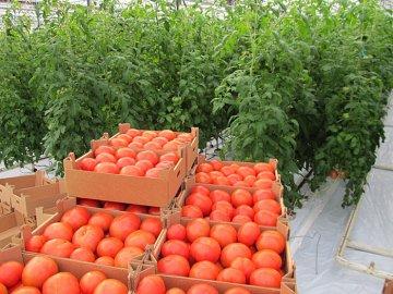 Какие сорта томатов подходят для теплиц?