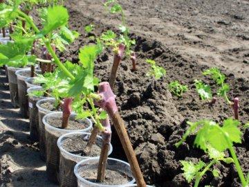 Как сажать виноград?