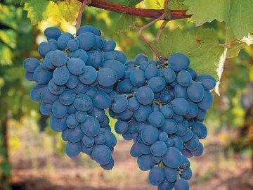 Преимущества тепличного выращивания винограда