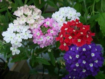 Виды и сорта цветка
