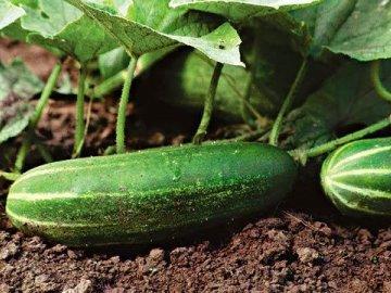 Урожайные сорта для открытого грунта