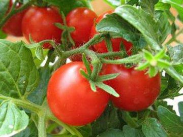Общая информация о помидорах
