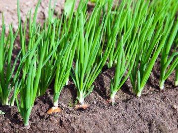 Выращивание лука на зелень в открытом грунте