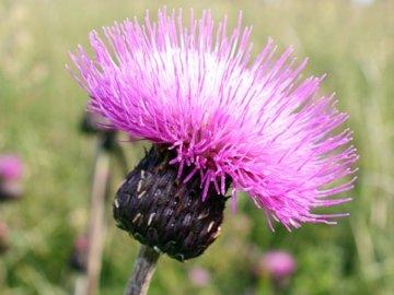 Сорняки с фиолетовыми цветами 167