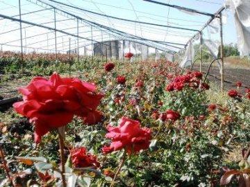 Выращивание роз в теплицах