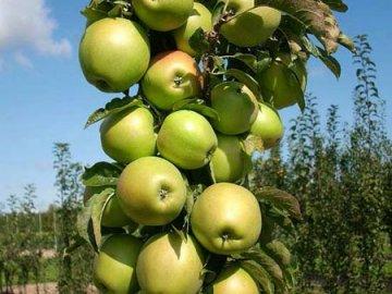 Лучшие сорта колоновидных яблонь, их особенности