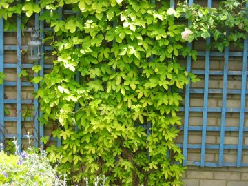Вьющиеся растения - что это такое?