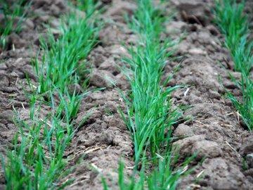 Рекомендации по уходу за озимой пшеницей