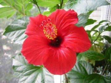 Китайская роза: описание
