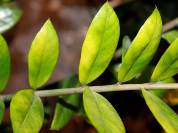 Желтеют листья, по причине неправильного ухода