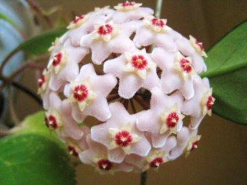 Хойя: ботаническая справка