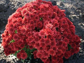Хризантема шаровидная мультифлора