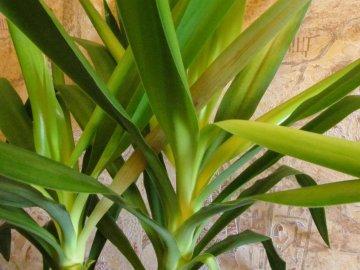 Желтеют и сохнут листья у юкки