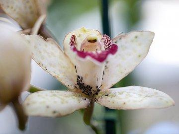 Тля на орхидеях