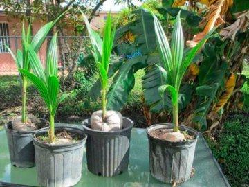 Особенности строения комнатного кокоса