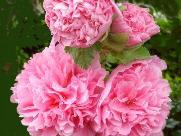 Цветы похожие на пионы