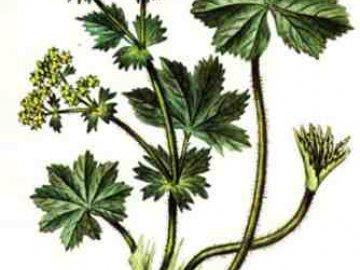 Общая информация о траве манжетка