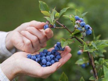 Черника и ее выращивание в Украине: сорта, посадка и уход за кустарником