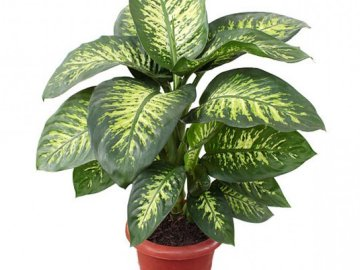Особенности комнатного растения
