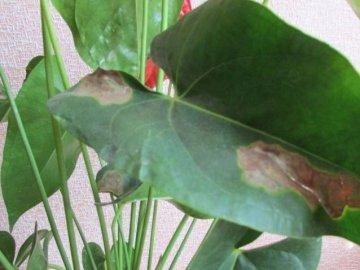 Чернеют листья – причина: неправильный уход