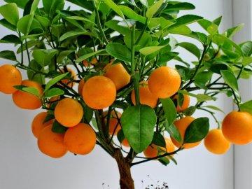 Описание мандаринового дерева