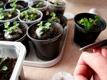 Клематисы из семян