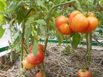 Описание и преимущества сорта
