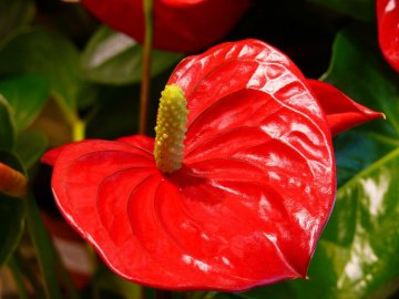 Цветок «мужское счастье»