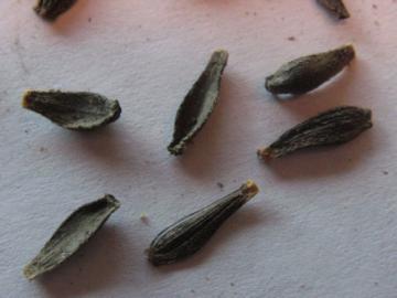 Посадка георгин и технология выращивания