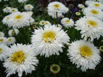 Характеристика растения и его выращивание